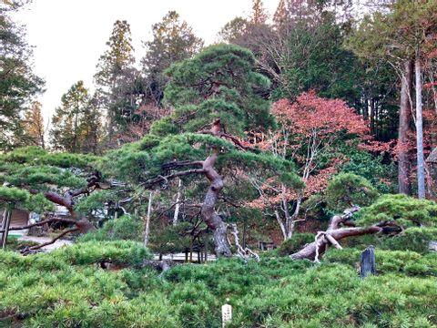 old pine tree (^.^)