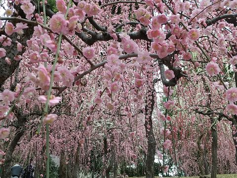 Jyonangu Shrine, marvelous pink forest of plum blossom!