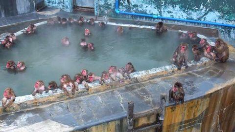 See hot spring monkeys and eat sukiyaki in Hakodate