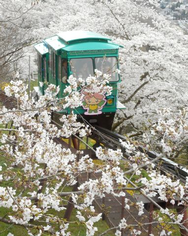 Best Cherry Blossoms Spot and Samurai Castle in Miyagi