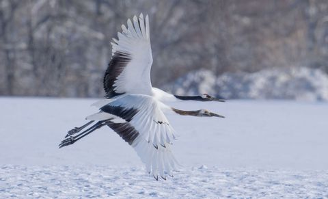 Kushiro, Hokkaido - Red-crowned Cranes - One Day Photography Workshop