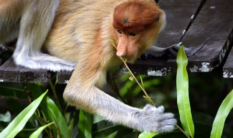 Half-day Private Tour-The Long-nosed Monkey