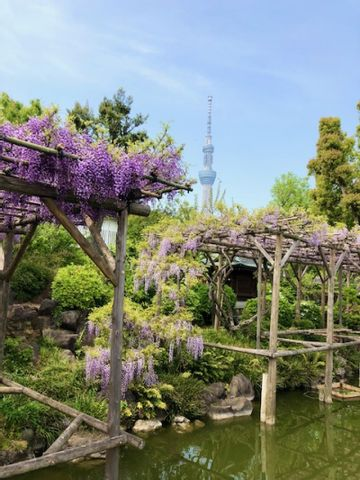 Wisteria bringing Tokyo early summer