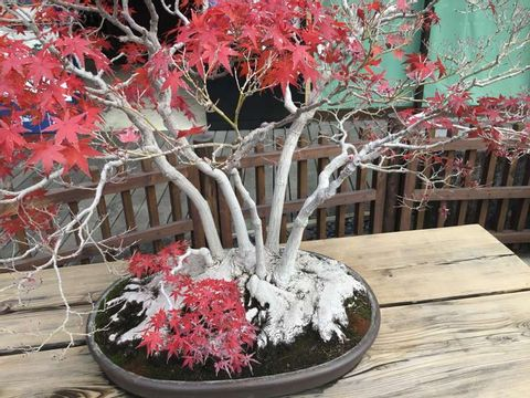 Bonsai sightseeing and Kawagoe small-Edo tour in Saitama