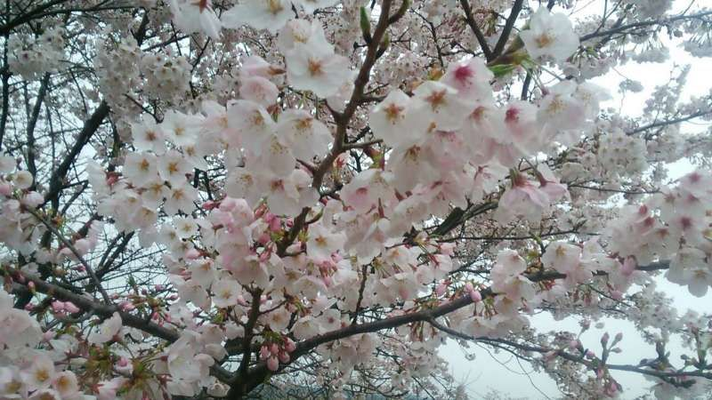 Very charming cherry blossoms