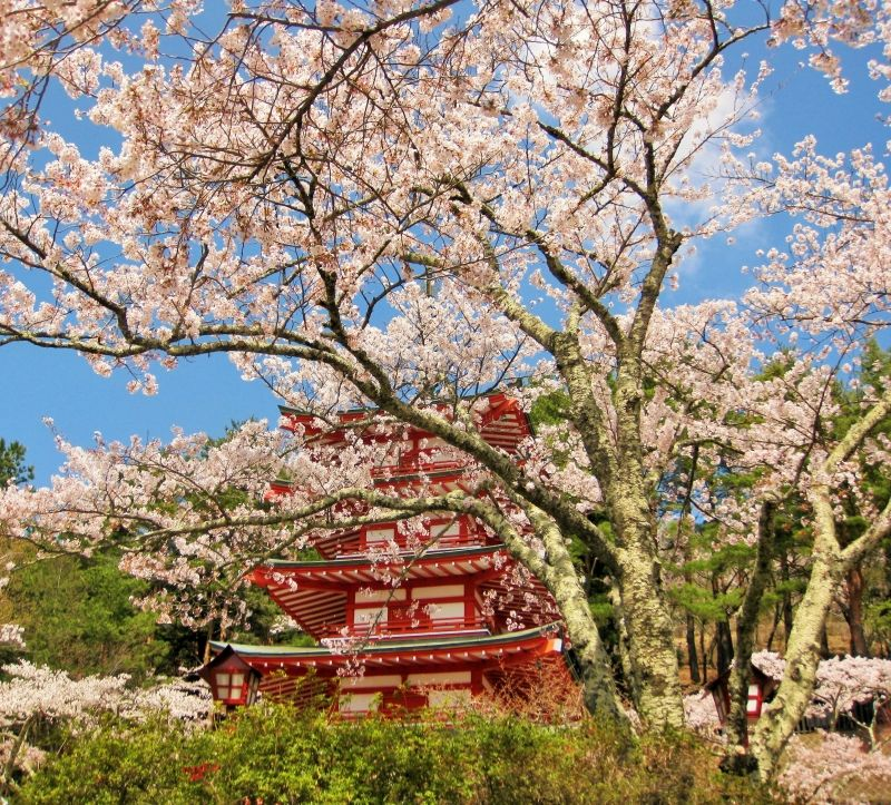 Cherry blossom in spring season