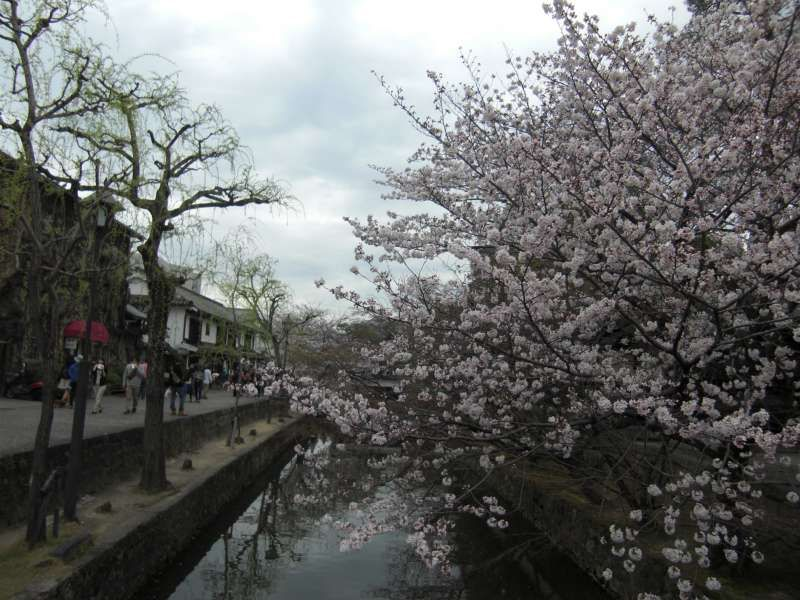 Kurashiki river with  brautiful cherry brossomes in full bloom
