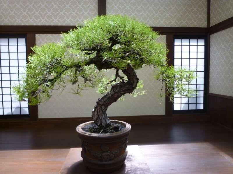 Bonsai.  Schoenheit des Japans im kleinen Kieferbaum.