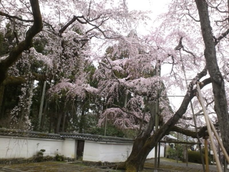 Weeping cherry trees in bloom, Daigoji Temple, Kyoto