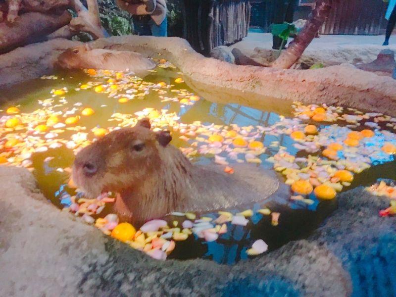 Capivara winter greeting from Onsen! Kobe animal kingdom
