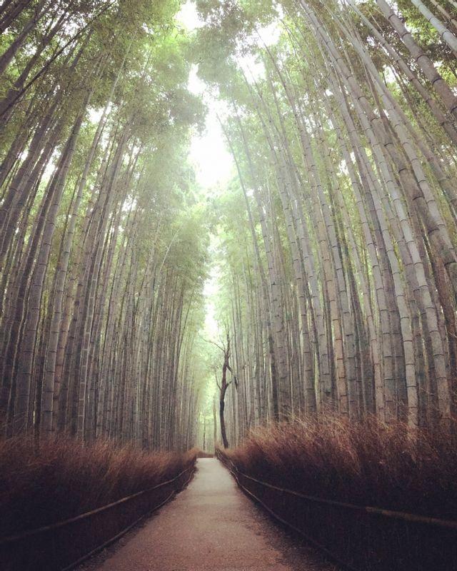 Bamboo grove at 6am
