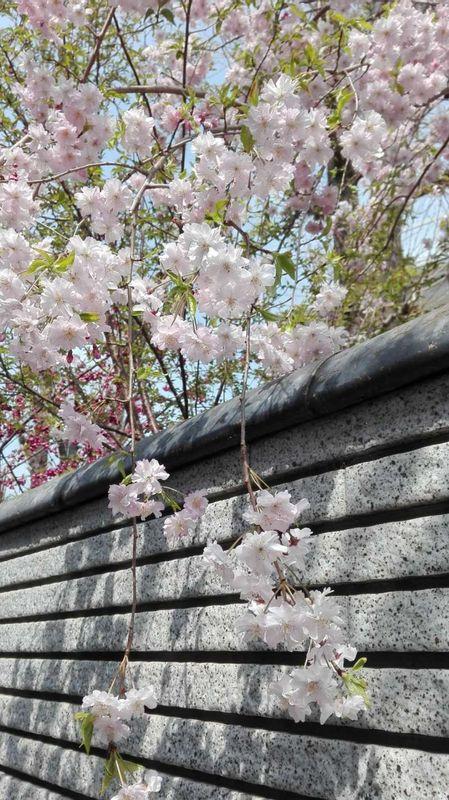 ☆Cherry blossom☆