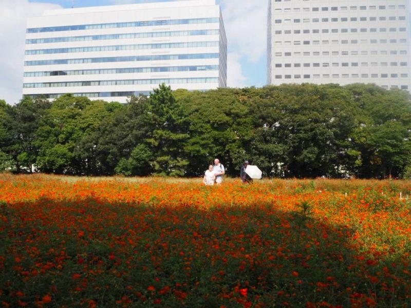 Beautiful cosmos flowers☆ 秋樱好漂亮☆