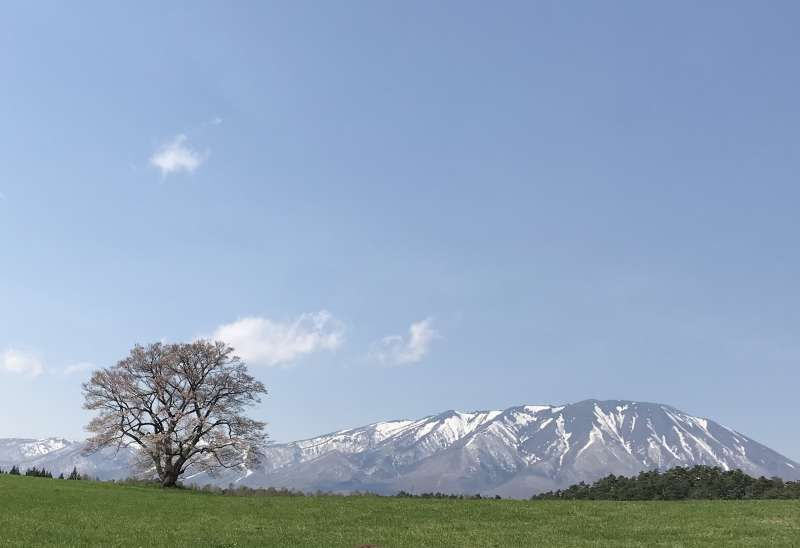 Mt. Iwate and a lonesome cherry blossoms on the Koiwai Farm in spring.