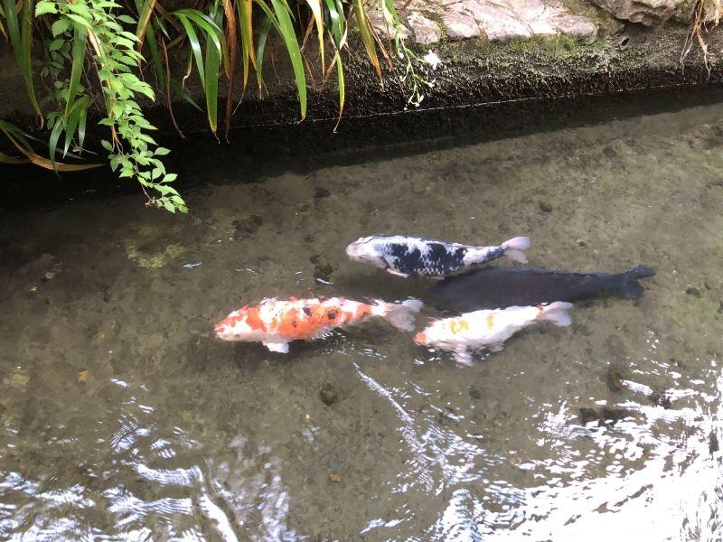 Carp are swimming in the waterway in Gujo Hachiman.