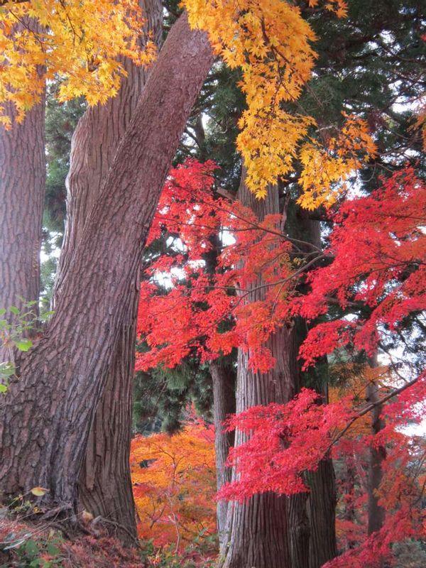 Wunderschöne Herbstfärbung in der Einfriedigung vom Chuson-ji Tempel in Hiraizumi, Iwate.