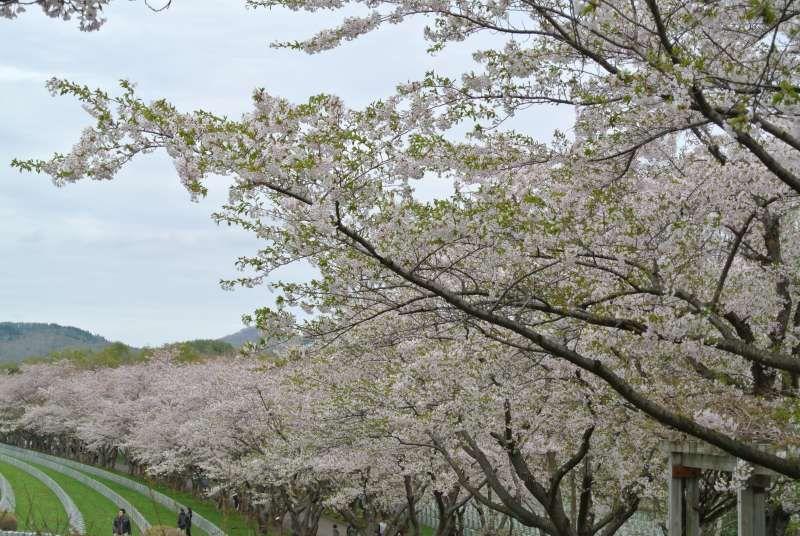 Hokkaido's cherry blossom in early May.