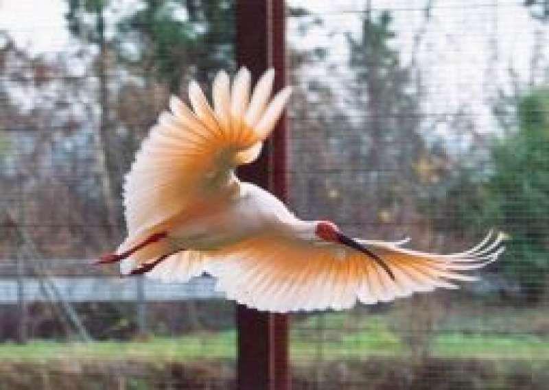 Toki:Japanese crested ibis