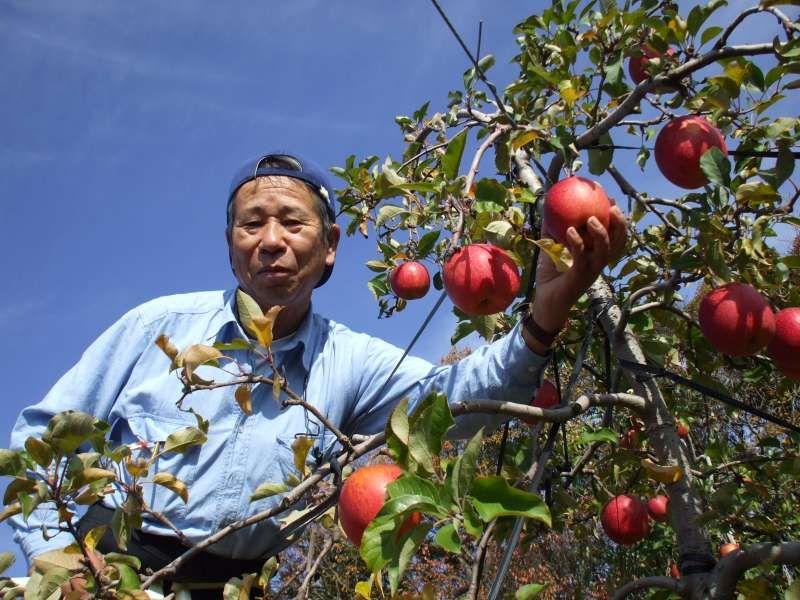 good harvest of Fuji apple