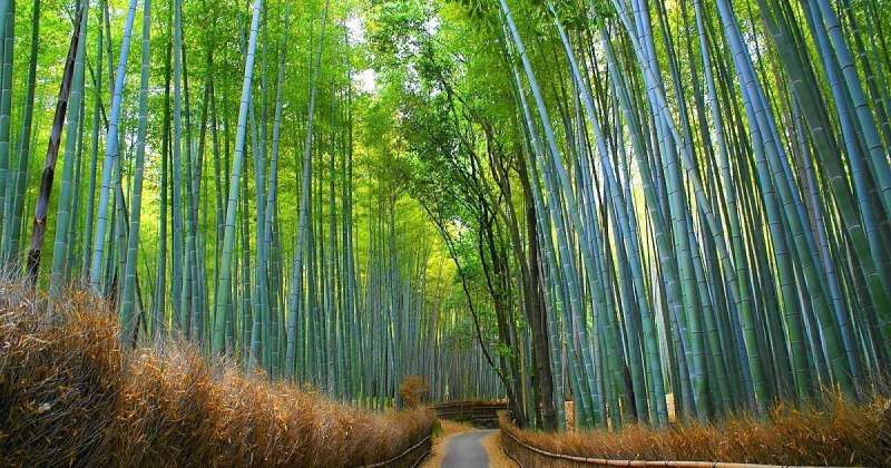 please enjoy the atomosphere in the bamboo forest in Arashiyama district