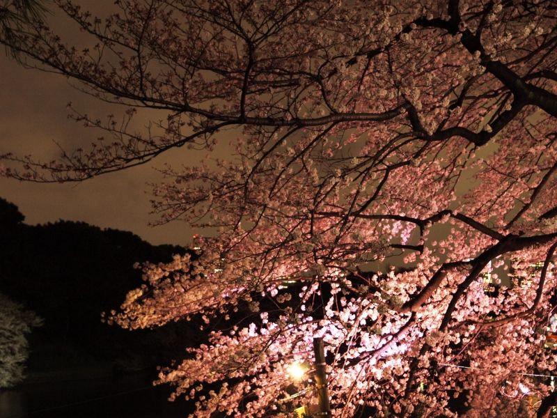 We can appreciate mysterious mood of cherry blossom flowers lit up in Chidorigafuchi at night in Spring.
