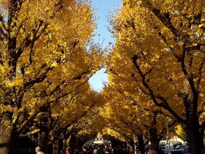 We can enjoy so beautiful colorful leaves  even in the center of Tokyo in Autumn.