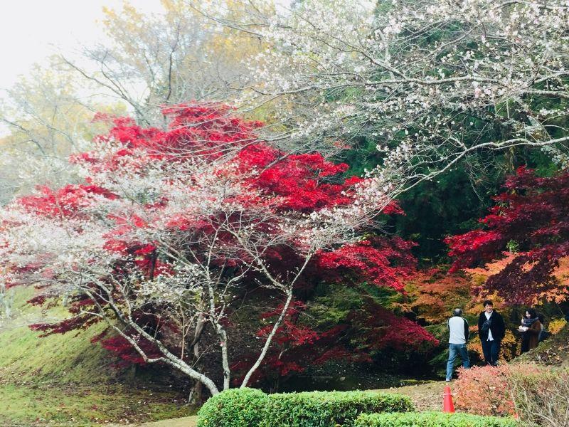 Hoa ảnh đào và Lá đỏ, Obara Aichi