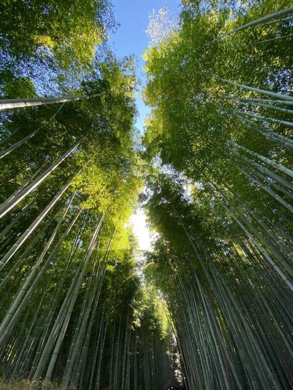 Bamboo forest(Arashiyama)
