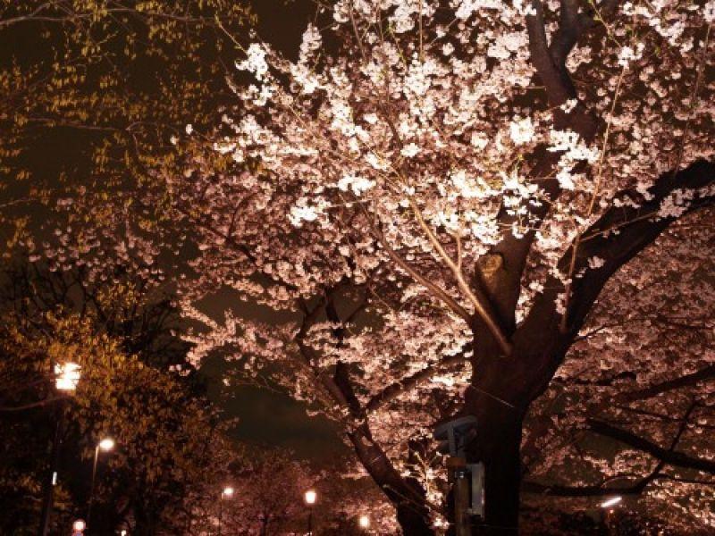 Cherry blossoms  in full bloom lit by  light at Chidori-ga-fuchi