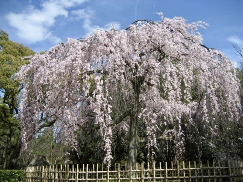 Cherry blossoms in the Kyoto Imperial Palace Park.