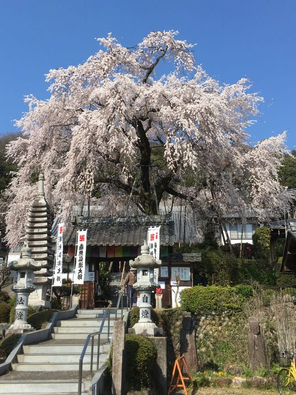 Shidare Sakura/cherry blossoms in Linyoji temple in Gifu city