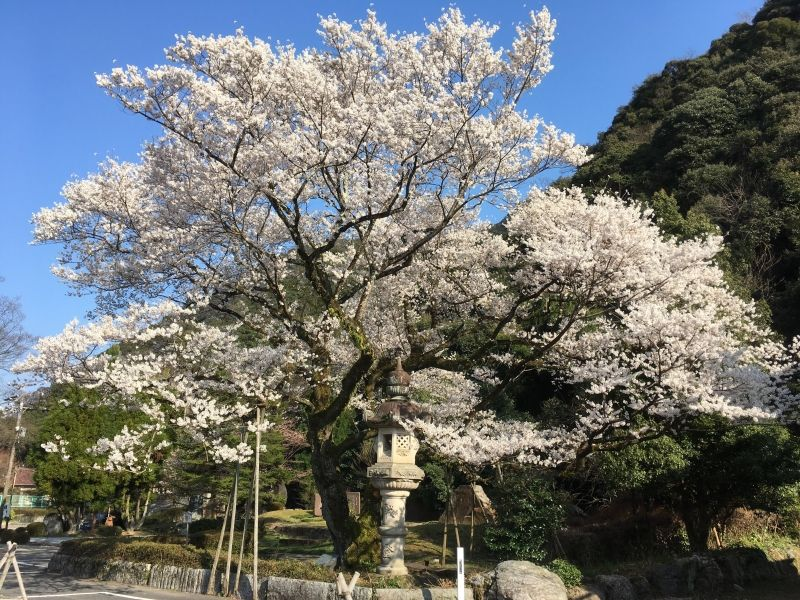 Ukai sakura/cherry blossoms in Gifu Gokoku shrine, Gifu city