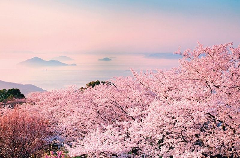 最是櫻花爛漫時
