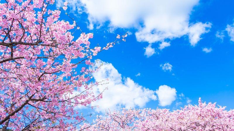 櫻花、藍天交相輝映