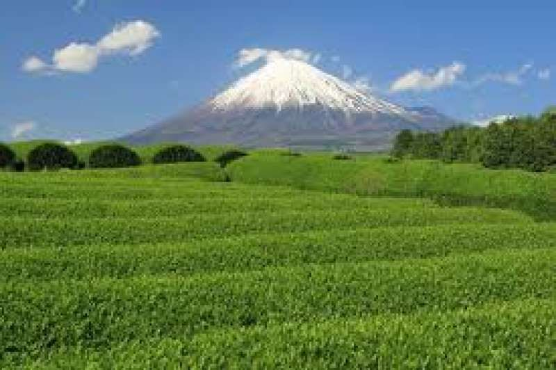 Green tea farm with view of Mt. Fuji