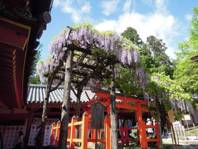 Kasuga Grand Shrine in Nara and the wisteria flowers.   The shrine was originally established by the Fujiwara clan.  Fujiwara literally means the field of wisterias.   So many wisteria trees are planted in the precinct of the shrine.
