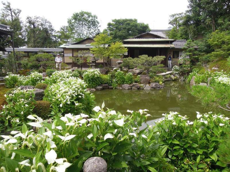Hangesho flowers at Ryosoku-in, a sub-temple of Ken-ninji Temple near Gion, open to the public during the rainy season only.