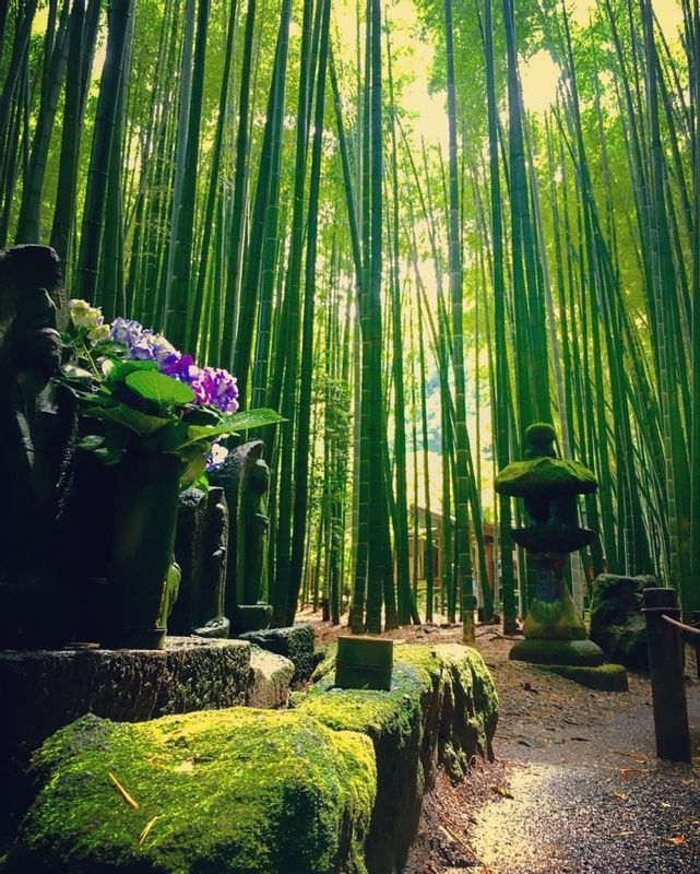 If you walk on this bamboo path in Sakura city, I am sure you should feel like you timeslip to