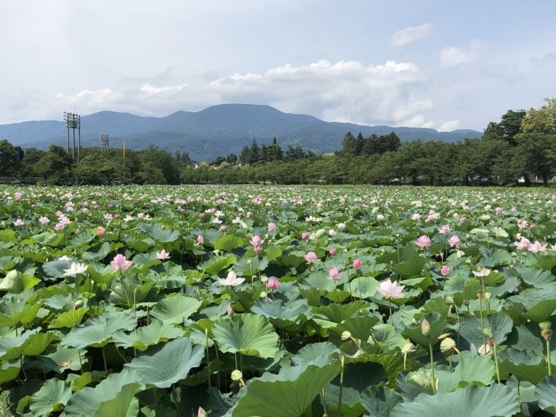 Takada Park in summer.  Lotus flowers occupy all the moats.