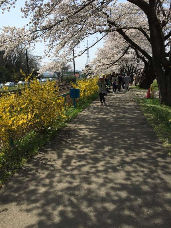 I like cherry blossom viewing. Located an hour outside of Sendai, Shiroishi river is famous for