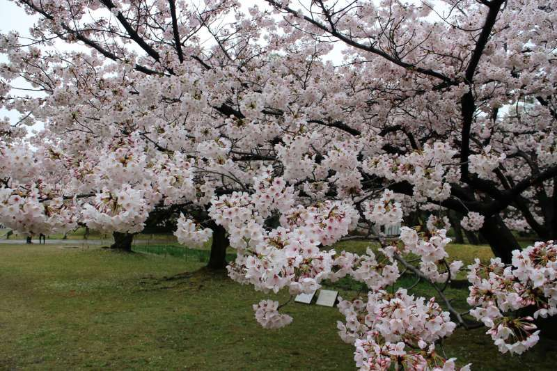 Early in April is the best timing to see cherry blossoms in Tokyo. Why don't you plan to visit Japan in this season?