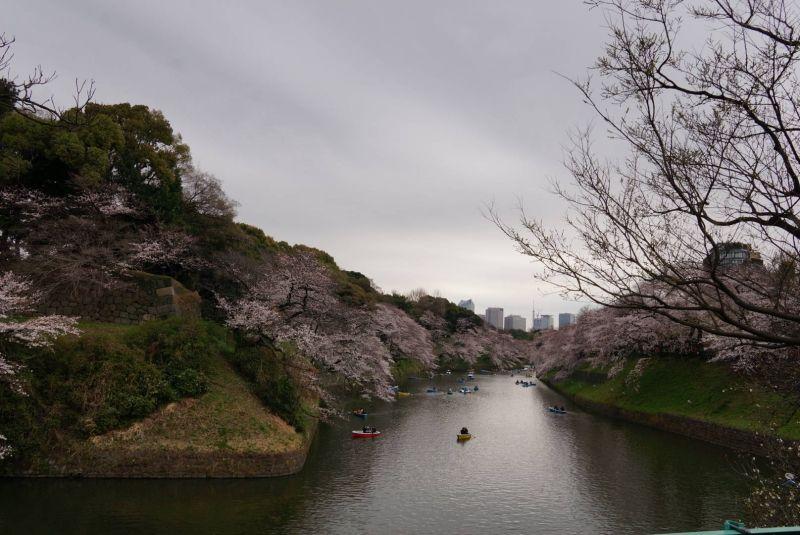 View of Chidorigafuchi moat at the Imperial Palace at cherry blossom season