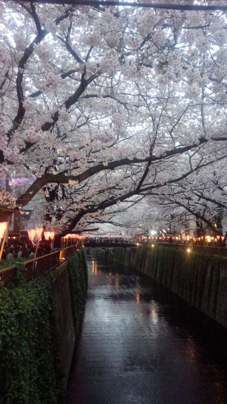 Cherry blossoms in full bloom at Meguro River