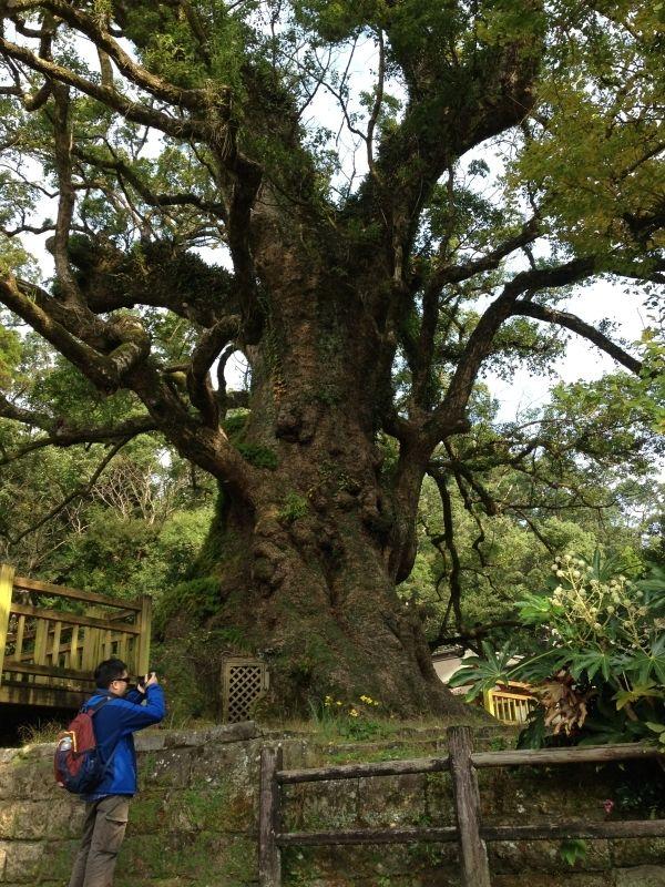 日本第一大樟樹--位於蒲生神社内