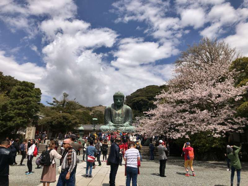 Daibutsu, a Great Statue of Buddha with cherry blossoms at Kotokuin Temple in Kamakura