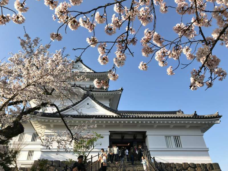 Cherry blossoms and Odawara castle built by a powerful Samurai clan near Hakone.