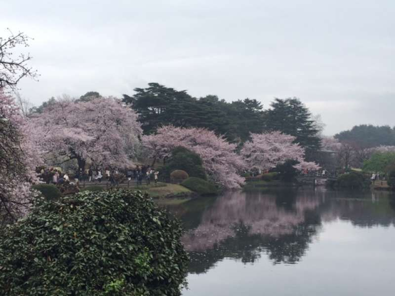 Cherry-blossom season is the best season to visit Japan, of course, we can enjoy cherry-blossom in Tokyo.