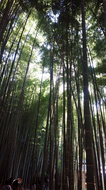 Bamboo forest in Kamakura in 2017. There is a bamboo  forest as well in Arashiyama, Kyoto pref.