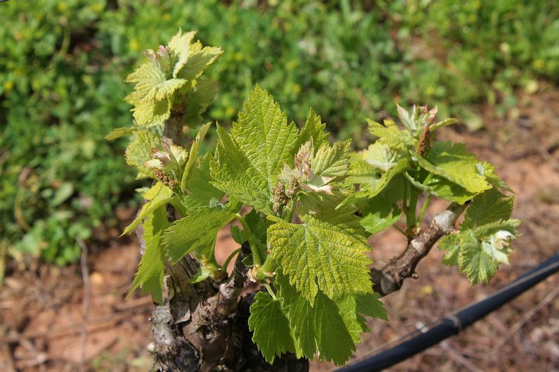 Vines in spring