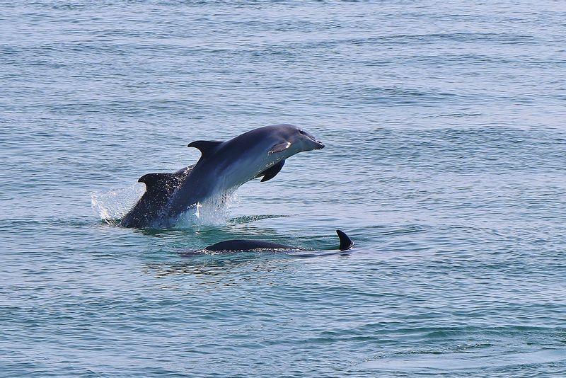 Wild Dolphins in Sado Estuary
